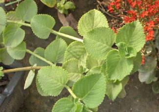 Omavalli Bajji (Mexican Mint Bajji)