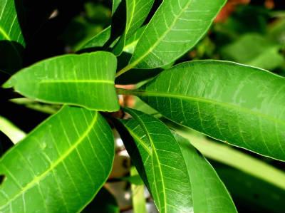 mango leaves maavilai - Maavilai Rasam (Mango Leaves Rasam)
